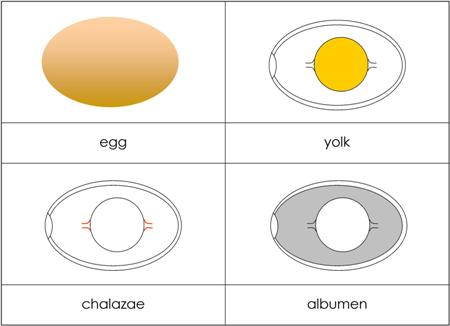 Parts of an Egg from Montessori for Everyone