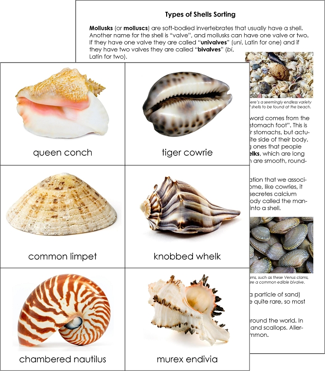 Types of shells sorting cards from montessori for everyone - Types of seashells for kids ...