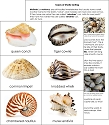 Types of Shells Sorting Cards