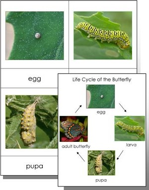 Life Cycle of a Butterfly Cards & Quiz