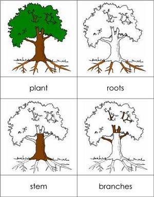 Parts Of A Plant Nomenclature Cards
