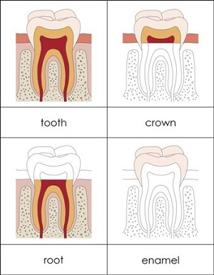 Parts of a Tooth Nomenclature Cards