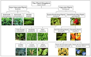 plant kingdom chart from montessori for everyone. Black Bedroom Furniture Sets. Home Design Ideas