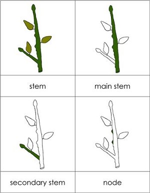 Parts of a Stem Nomenclature Cards
