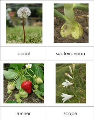 Types of Stems Nomenclature Cards