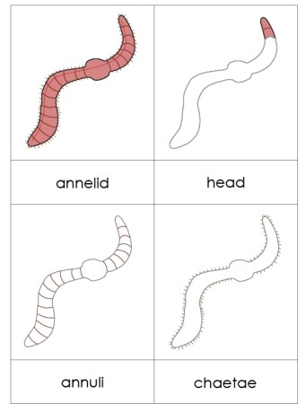 Parts of an Annelid Nomenclature Cards